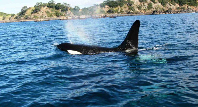..Breathing Orca