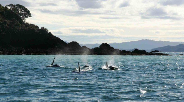 ..Orca attack!