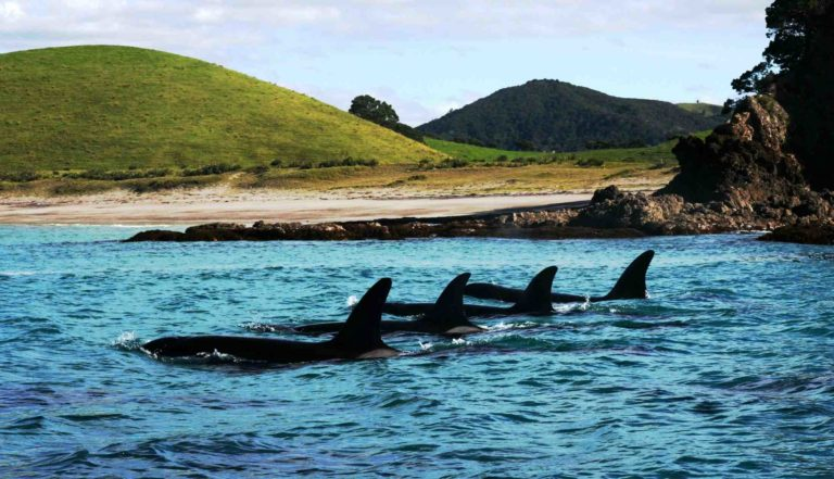 ..Orcas Pod travelling past Rimariki..